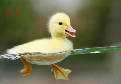 小小鸭子真可爱(搞笑图片)